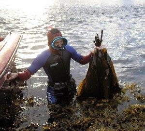 Заготовка ламинарии с морской глубины